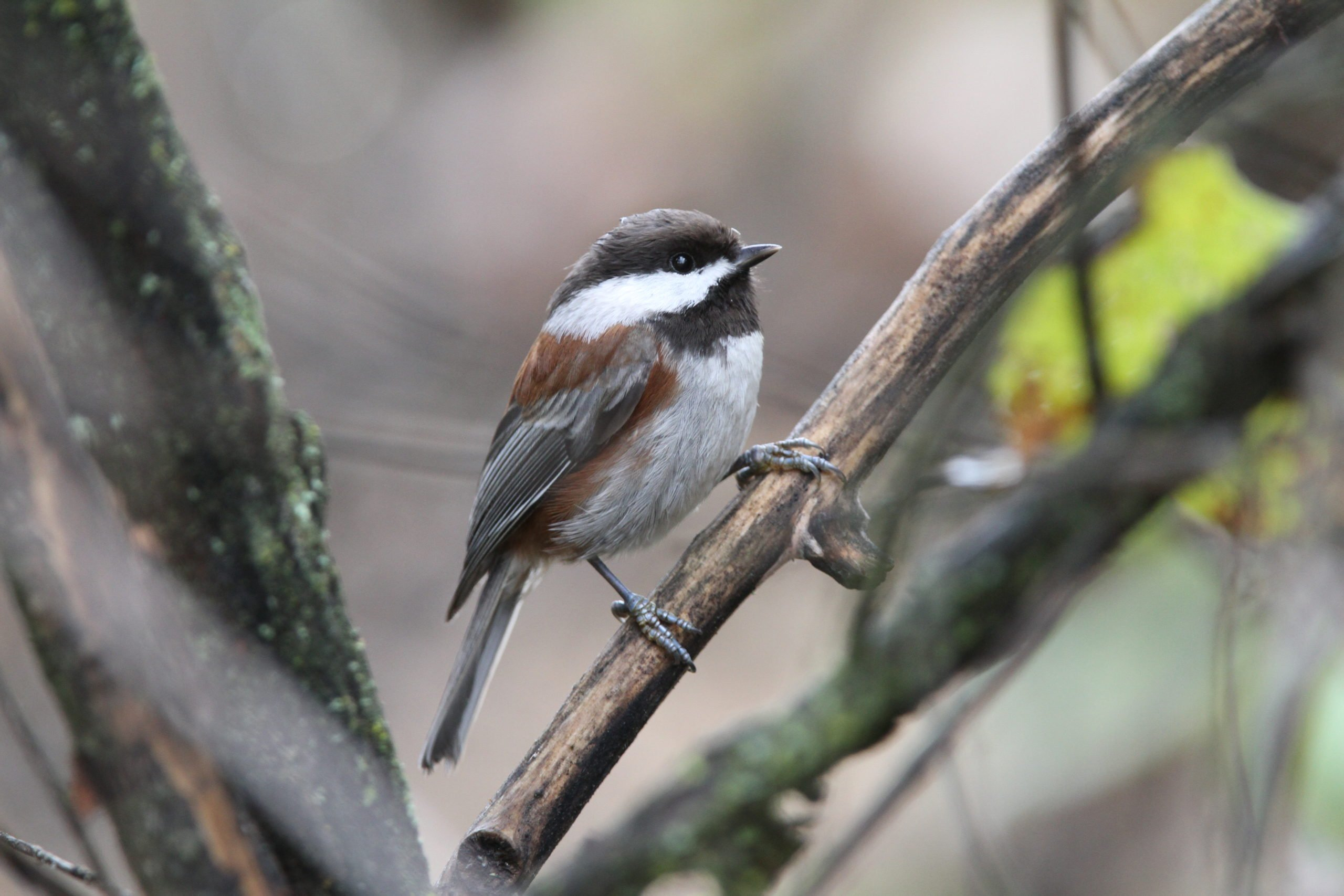 Chesnut-backed Chickadee