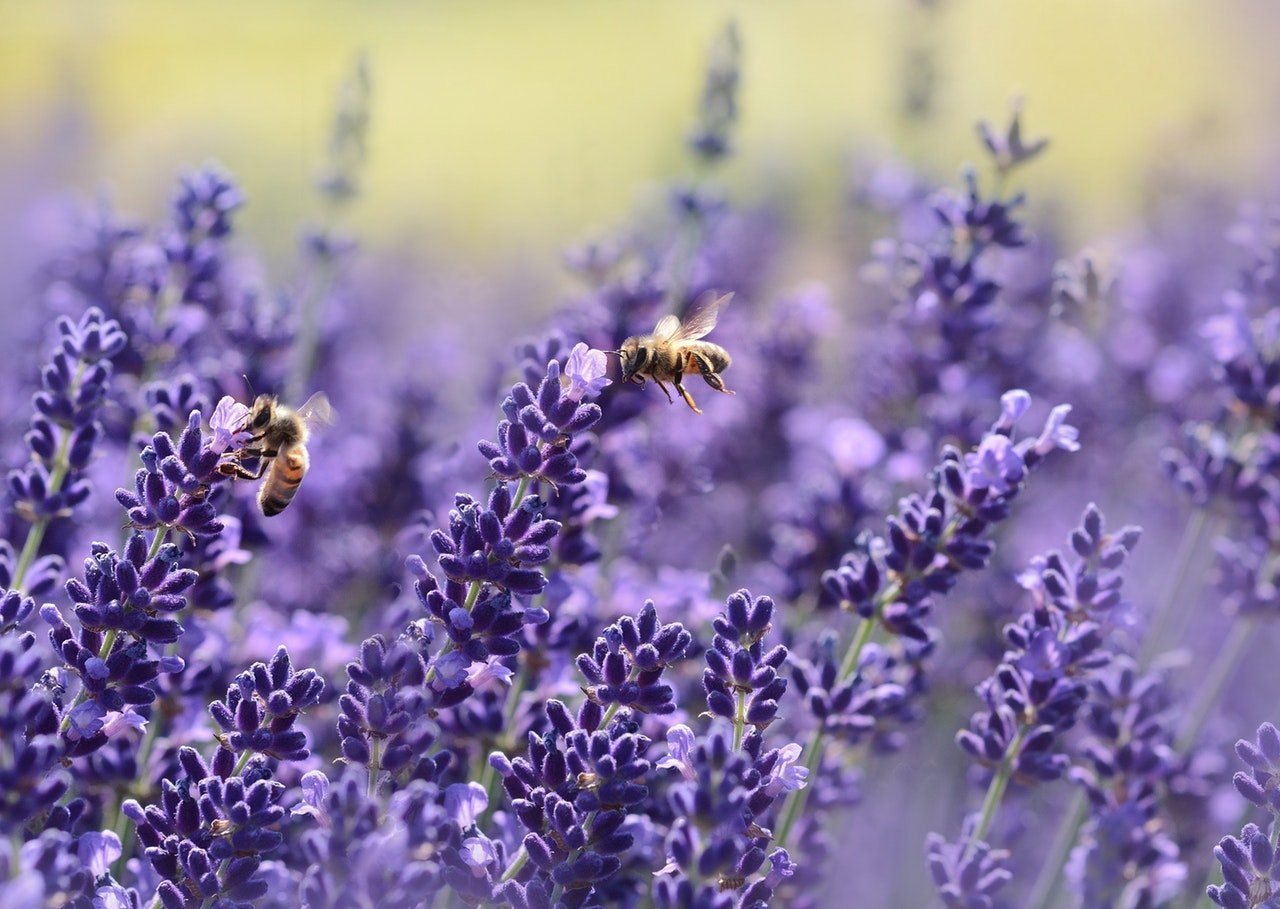 bees-on-purple-flower-164470